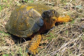 Wood turtle (Photo by Ryan M. Bolton)