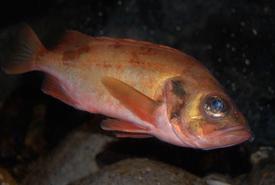 Acadian redfish (Photo by Steven G. Johnson)