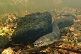 American eel (Photo by Susan Heaslip, DFO)
