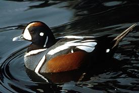 Harlequin duck (Photo by C. Chevalier)