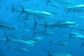 Atlantic bluefin tuna (Photo by Tom Pucher/iNaturalist)