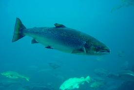 Saumon atlantique (Photo de Hans-Petter Fjeld/Wikimedia Commons)