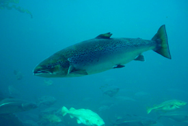 Atlantic salmon are an anadromous species, migrating from salt water to fresh water to spawn. (Photo by Hans-Petter Fjeld)