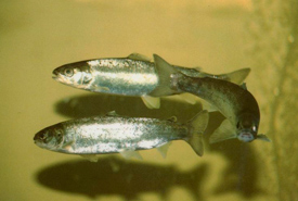 Atlantic salmon smolts (Photo by U.S. Fish and Wildlife Service)