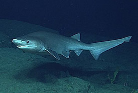 Bluntnose sixgill shark (Photo by NOAA Ocean Explorer, CC BY-SA 2.0)