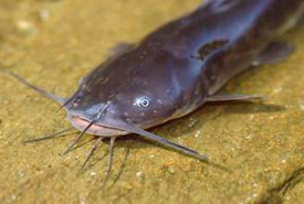 Brown bullhead (Photo from the U.S. Department of Agriculture)