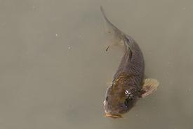 Common carp (Photo by William Crochot/Wikimedia Commons)