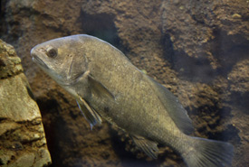 Freshwater drum swimming (Photo by Florida's Online Educational Clearinghouse)