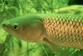 Grass carp (Photo by Eric Engbreston/Wikimedia Commons)