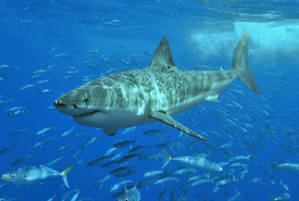 Great white shark (Photo by Terry Goss/Wikimedia Commons)