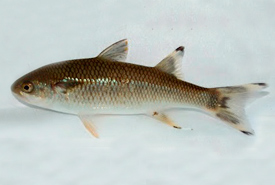 Mountain mullet, an amphidromous fish (Photo from Wikimedia Commons)