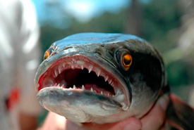 Close-up of a northern snakehead's razor-sharp teeth. (Photo by Outdoor Canada)