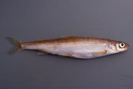 Pygmy whitefish (<i>Prosopium coulterii</i>) (Photo by John Lyons)