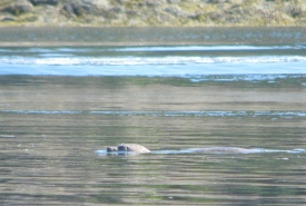 Seal swimming in Fundy Isles, NB (Photo by NCC)