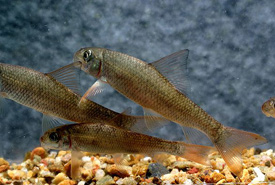 Sicklefin redhorse (Photo by Conservation Fisheries)