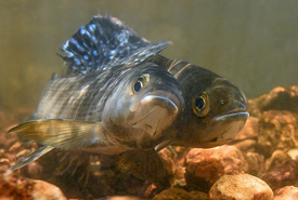 Mating arctic grayling (Photo by Charles Summers Jr.)