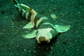 Brownbanded bamboo shark (Photo by Steve Childs/Wikimedia Commons)