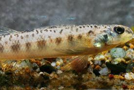 Fouille-roche gris (Photo de J.R. Shute/Conservation Fisheries)