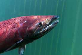 Spawning Chinook salmon (Photo by Fish On in the Yukon)