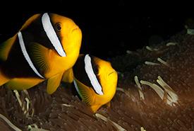 Clark's anemonefish (Photo by G. Phia/Wikimedia Commons)