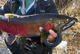 Spawning Coho salmon in Patenaude Creek on the Horsefly River Riparian Conservation Area (Photo by Steve Hocqaurd)