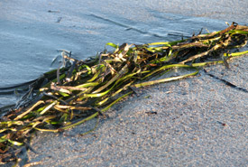 Eel-grass, Port Joli, Nova Scotia (Photo by NCC)