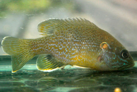 Green sunfish (Photo from Wikimedia Commons)