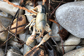 Northern clearwater crayfish (Photo by NCC)