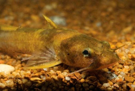 Northern madtom (Photo from the University of Michigan)