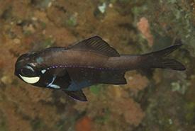 One-fin flashlight fish (Photo by Mark Rosenstein CC BY-NC-SA)