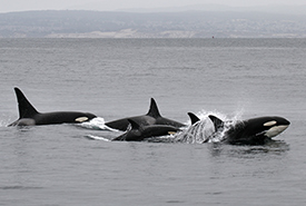 Pod of orcas (Photo by Robin Agrarwhal CC BY-NC)