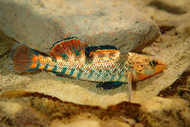 Rainbow darter (Photo by Julien Renoult CC BY-NC)