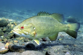 Smallmouth bass (Photo by USFWS, Eric Engbritson)