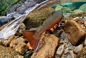 Bull trout in Cultus Creek, Darkwoods, BC (Photo by Bruce Kirkby)