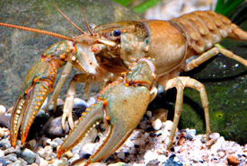 Virile crayfish (Photo by Missouri Department of Conservation)