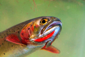 Westslope cutthroat trout (Photo by Wikimedia Commons)