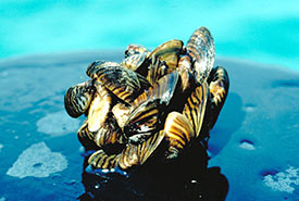 Zebra mussel (Photo de U.S. Environmental Protection Agency)