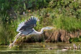 Great blue heron (Photo by Karol Dabbs)