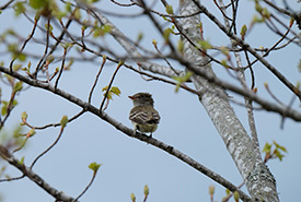 An alder flycatcher during our Walk and Talk event at Black River Bog in Cape Breton, NS (Photo by NCC)