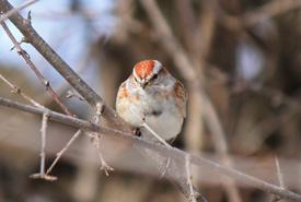 American tree sparrow (Photo by NCC)