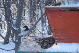 Black-capped chickadee at a feeder (Photo by NCC)