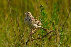 Baird's sparrow (Photo by Rick Bohn)