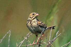 Baird's sparrow (Photo by Alan MacKeigan)