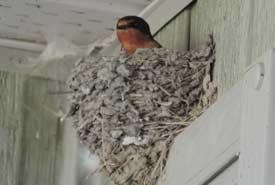 Barn swallow nesting at OMB interpretive centre (Photo by Dr. Steve Zack)