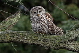 Barred owl (Photo by Lorne)