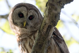 Barred Owl (Photo by Bill Hubick)