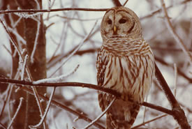 Barred Owl (Photo by George Pond)