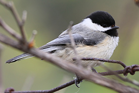 Black-capped chickadee, Hazel Bird Day, Rice Lake Plains, ON (Photo by Cameron Curran)