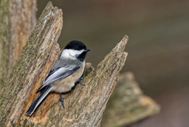 Black-capped chickadee (Photo by Lorne)