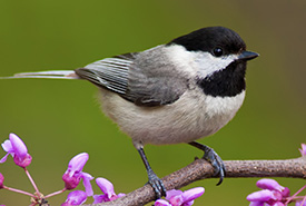 Black-capped chickadee (Photo by CanStock/Michael Mill)
